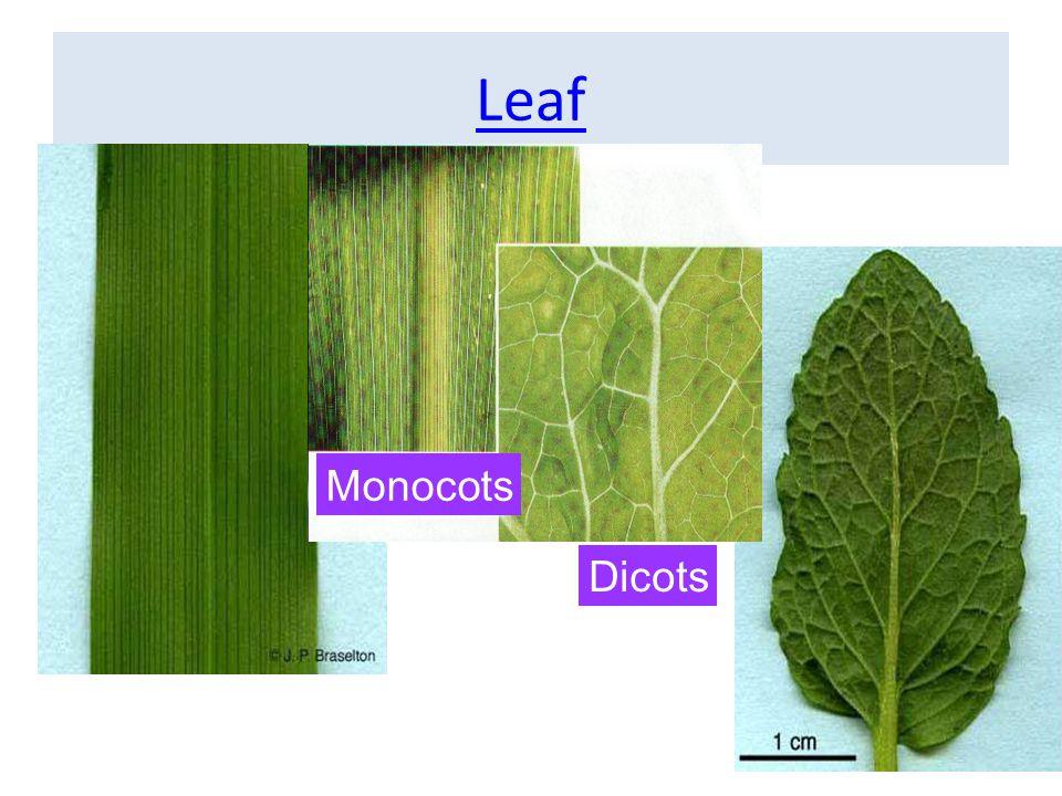 Leaf Monocots Dicots