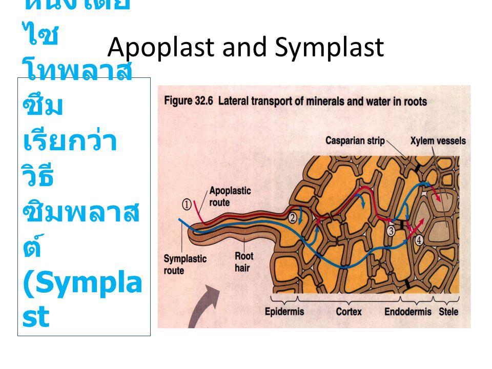 Apoplast and Symplast ผ่านจากเซลล์ หนึ่งไปอีกเซลล์หนึ่งโดย ไซโทพลาสซึมเรียกว่าวิธีซิมพลาสต์(Symplast.