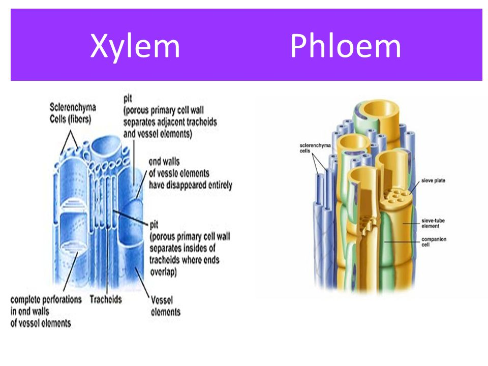 Xylem Phloem