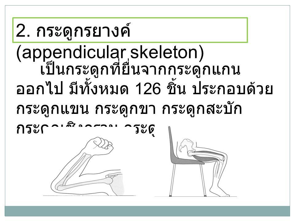 2. กระดูกรยางค์ (appendicular skeleton)