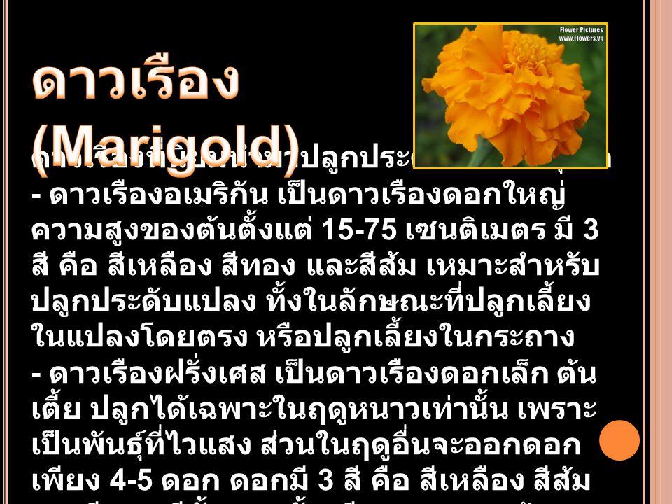 ดาวเรือง (Marigold)