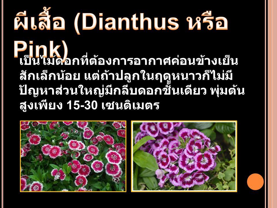 ผีเสื้อ (Dianthus หรือ Pink)