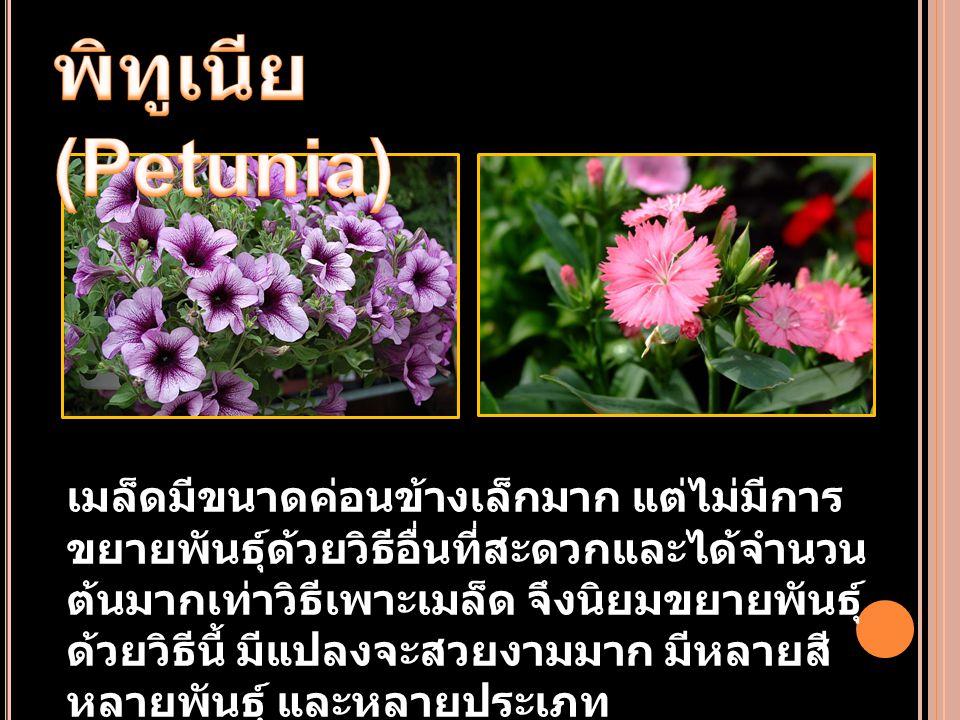 พิทูเนีย (Petunia)