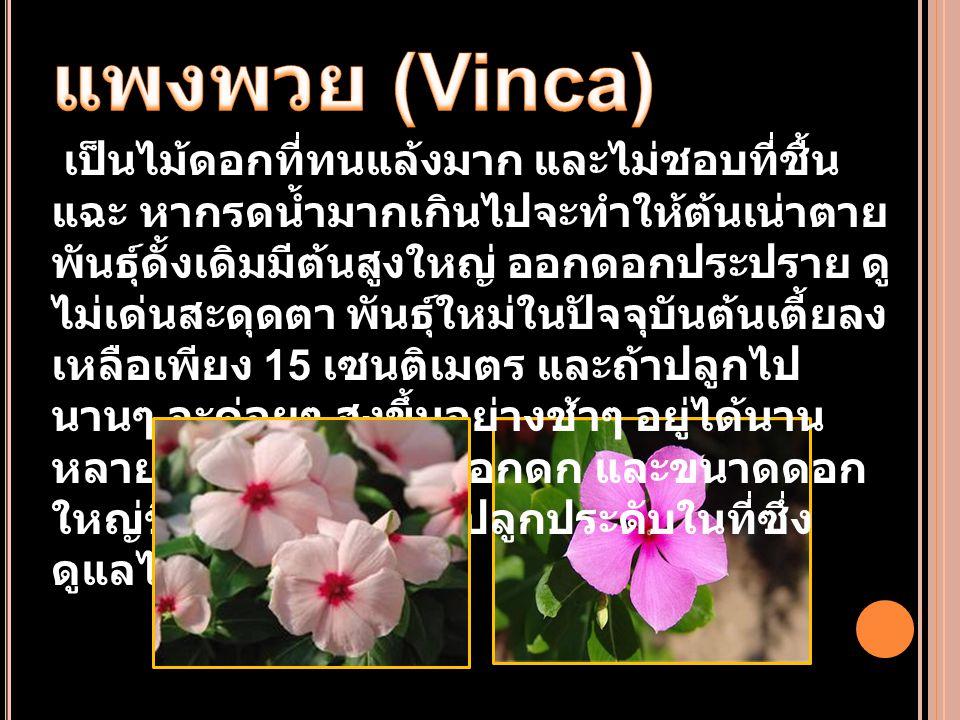 แพงพวย (Vinca)