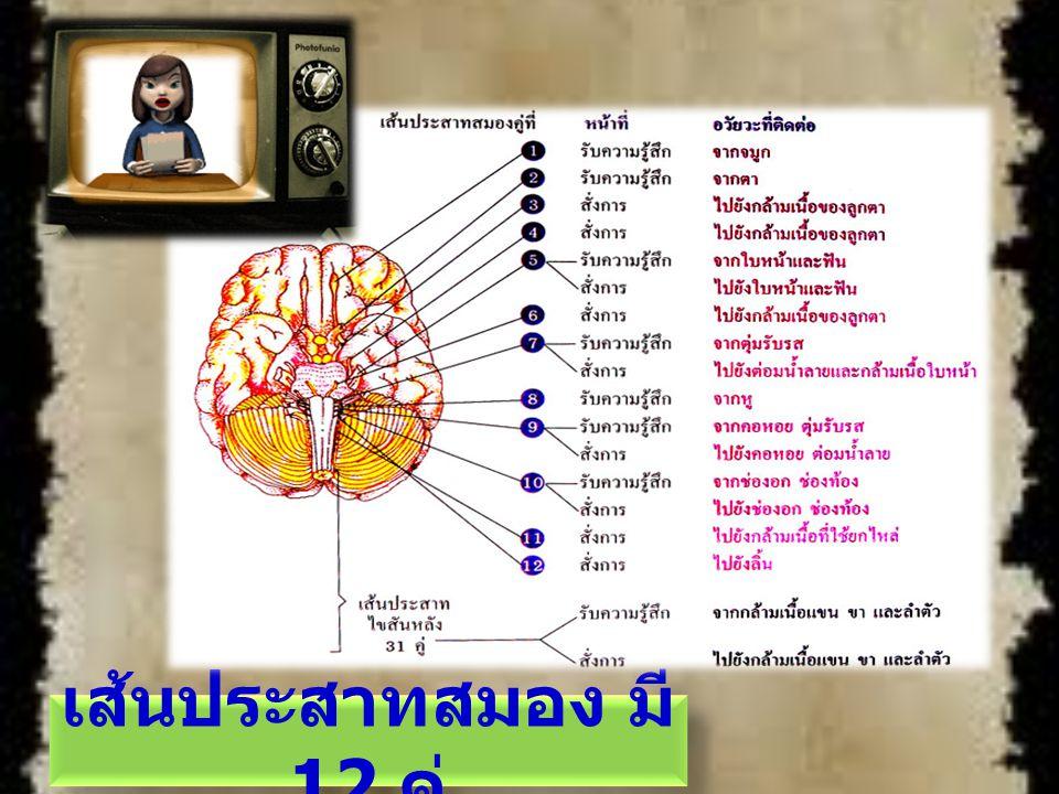 เส้นประสาทสมอง มี12 คู่