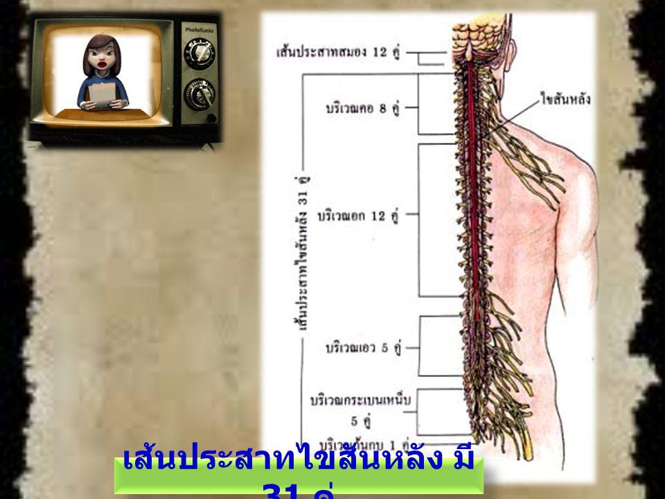 เส้นประสาทไขสันหลัง มี31 คู่