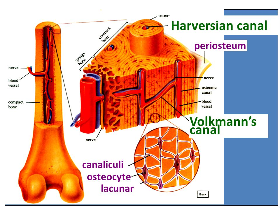 Harversian canal Volkmann's canal periosteum canaliculi osteocyte