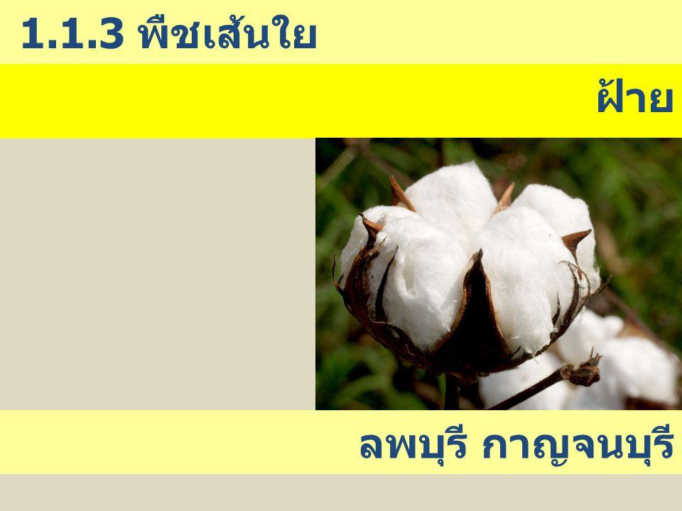 1.1.3 พืชเส้นใย ฝ้าย ลพบุรี กาญจนบุรี