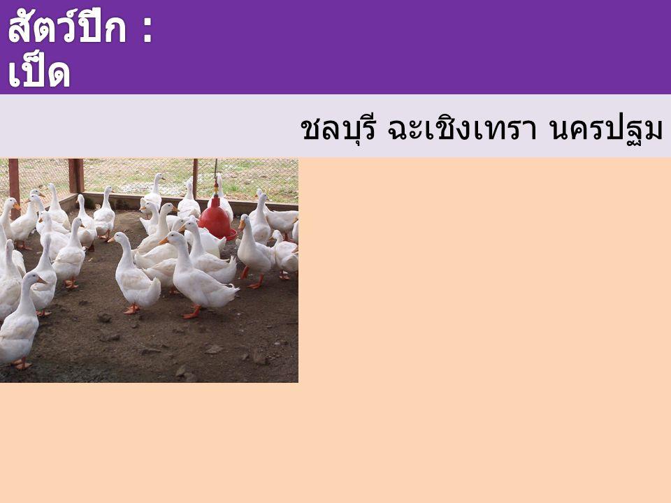 สัตว์ปีก : เป็ด ชลบุรี ฉะเชิงเทรา นครปฐม