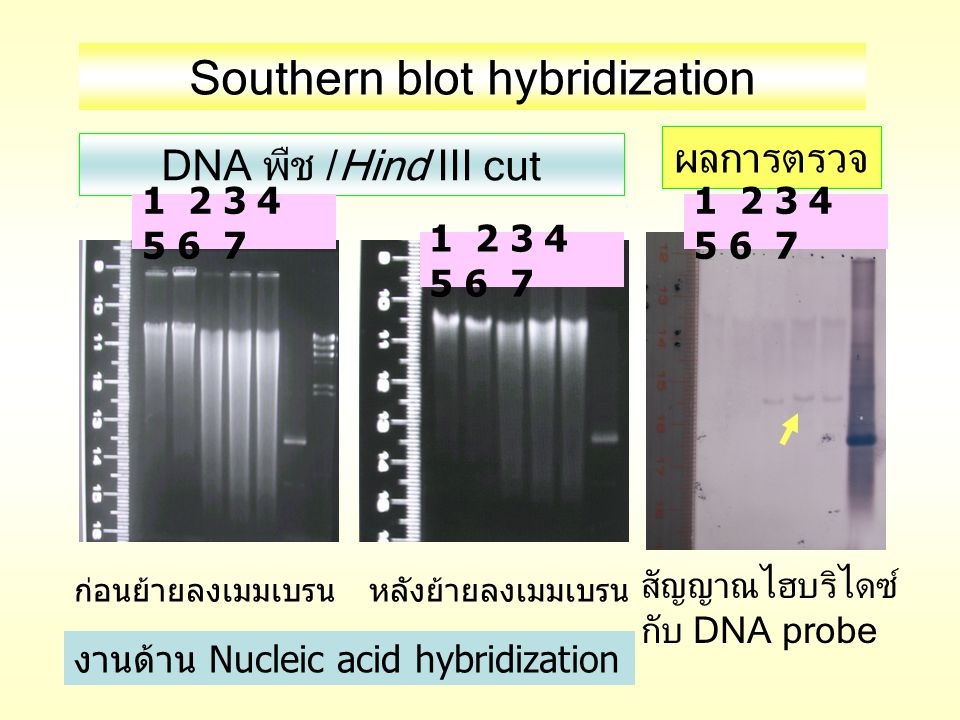 Southern blot hybridization