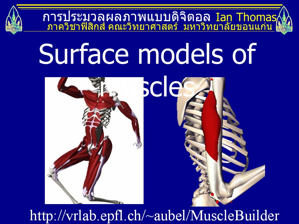 Surface models of muscles