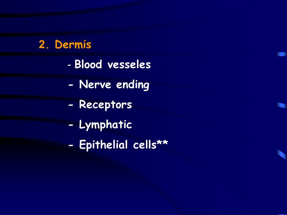 2. Dermis - Blood vesseles - Nerve ending - Receptors - Lymphatic - Epithelial cells**