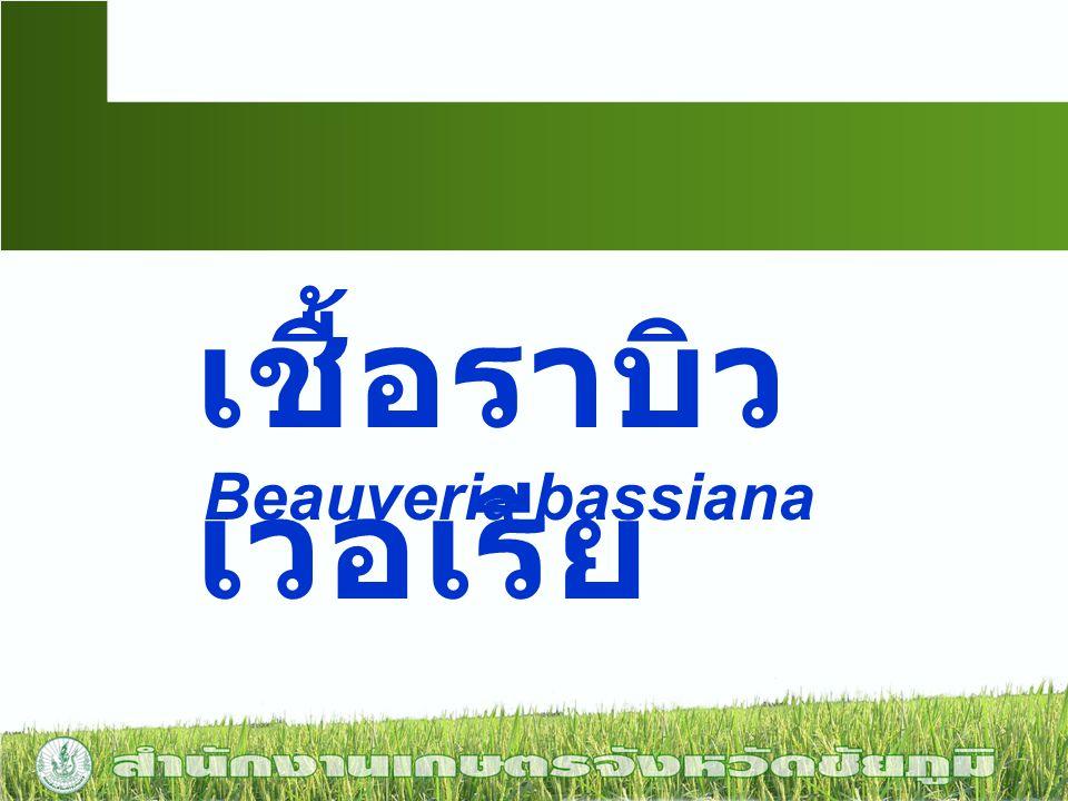 เชื้อราบิวเวอเรีย Beauveria bassiana