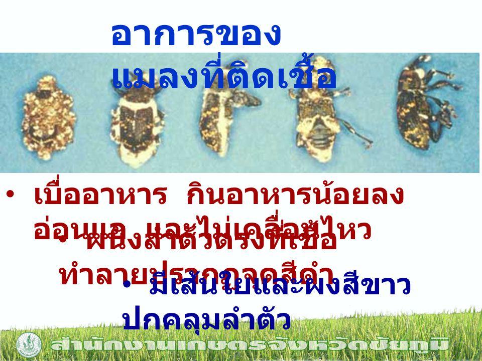 อาการของแมลงที่ติดเชื้อ