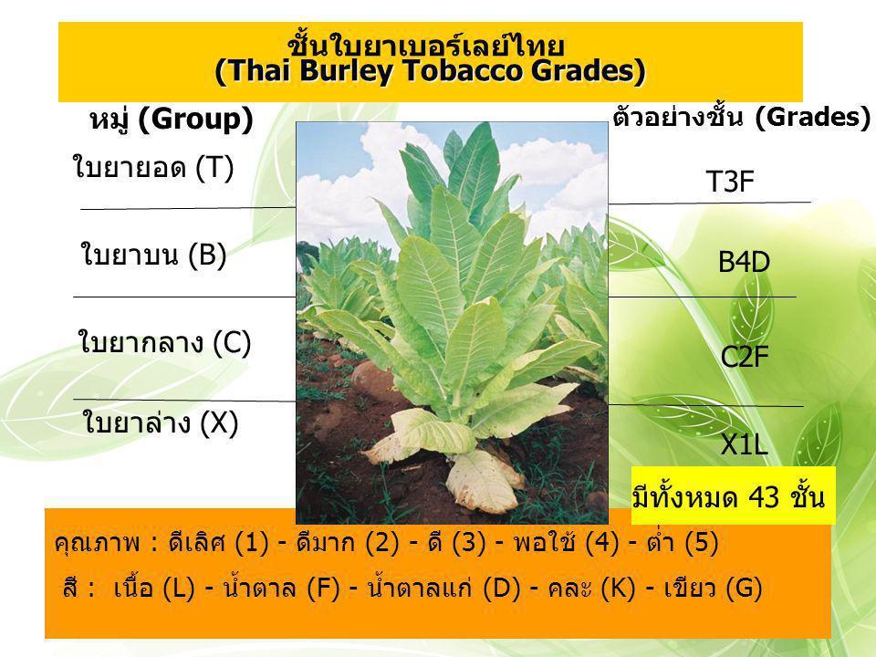 ชั้นใบยาเบอร์เลย์ไทย (Thai Burley Tobacco Grades)