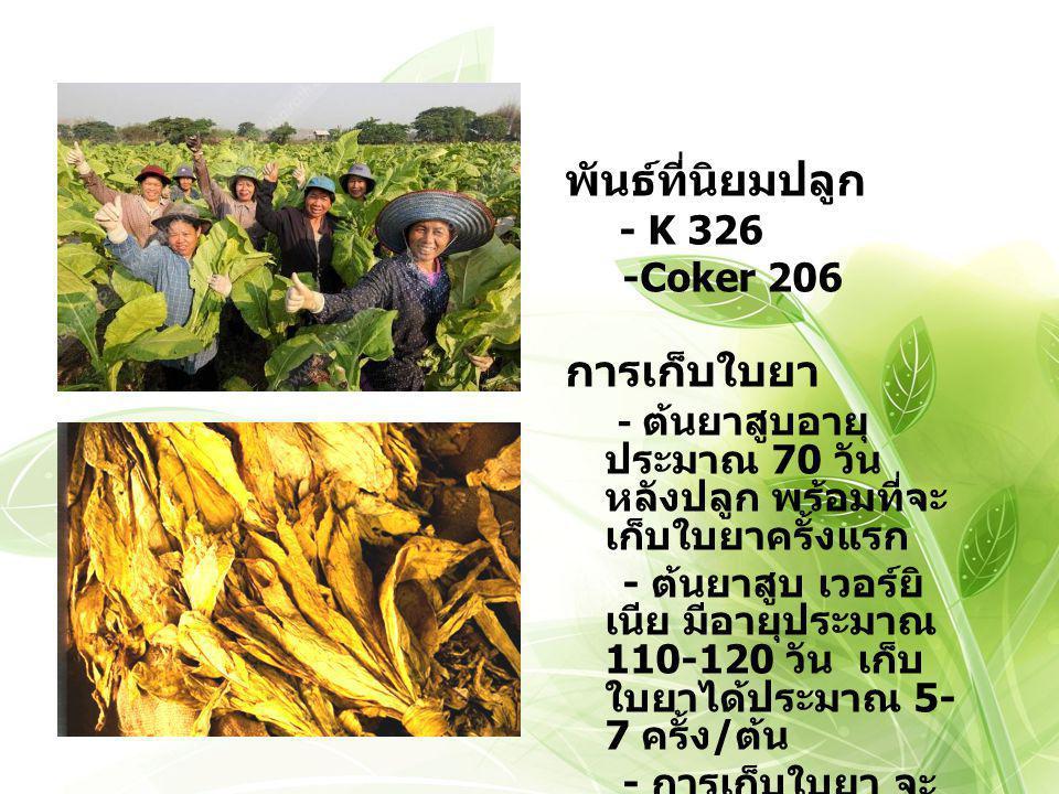 พันธ์ที่นิยมปลูก การเก็บใบยา -Coker 206