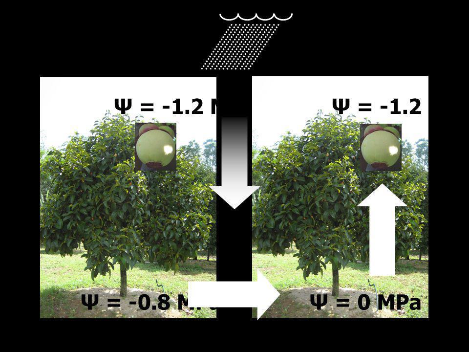 Ψ = -0.8 MPa Ψ = -1.2 MPa Ψ = 0 MPa Ψ = -1.2 MPa