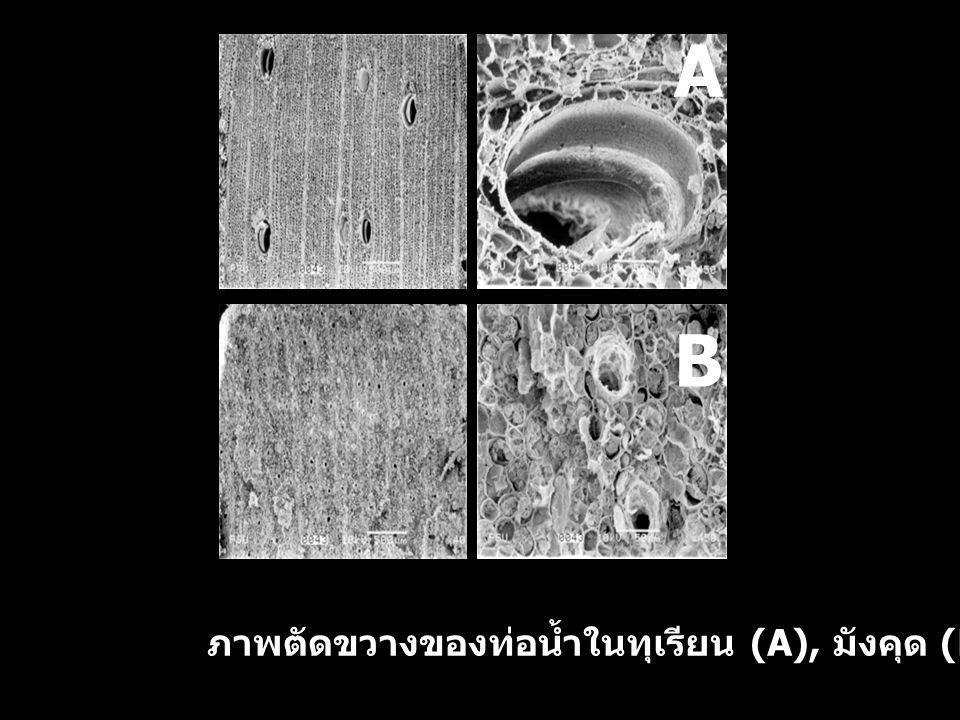 B A ภาพตัดขวางของท่อน้ำในทุเรียน (A), มังคุด (B)