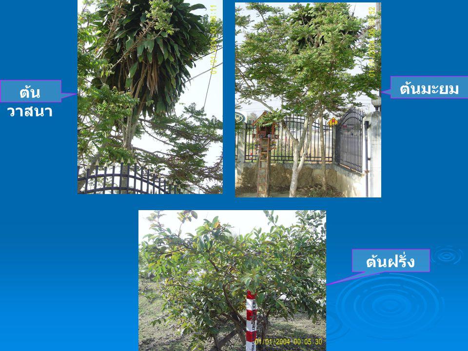 ต้นมะยม ต้นวาสนา ต้นฝรั่ง