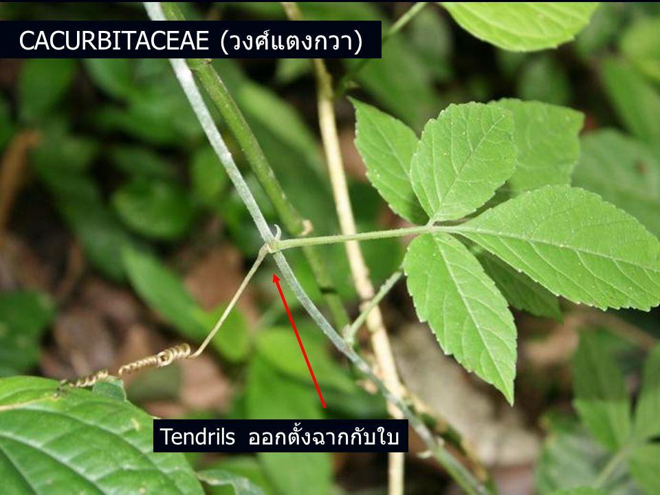 Cacurbitaceae (วงศ์แตงกวา)