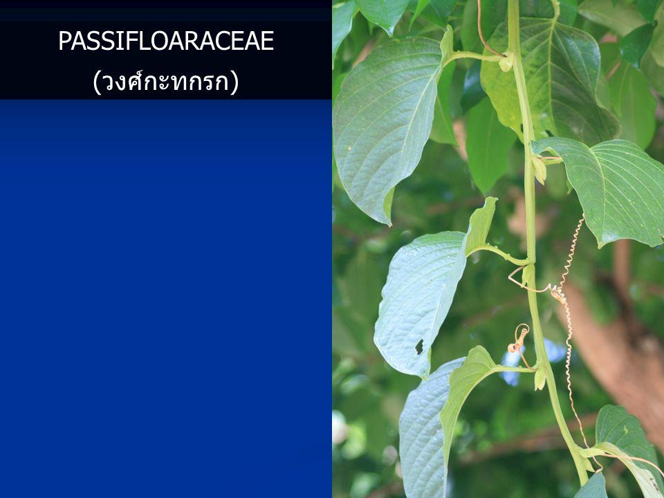 Passifloaraceae (วงศ์กะทกรก)