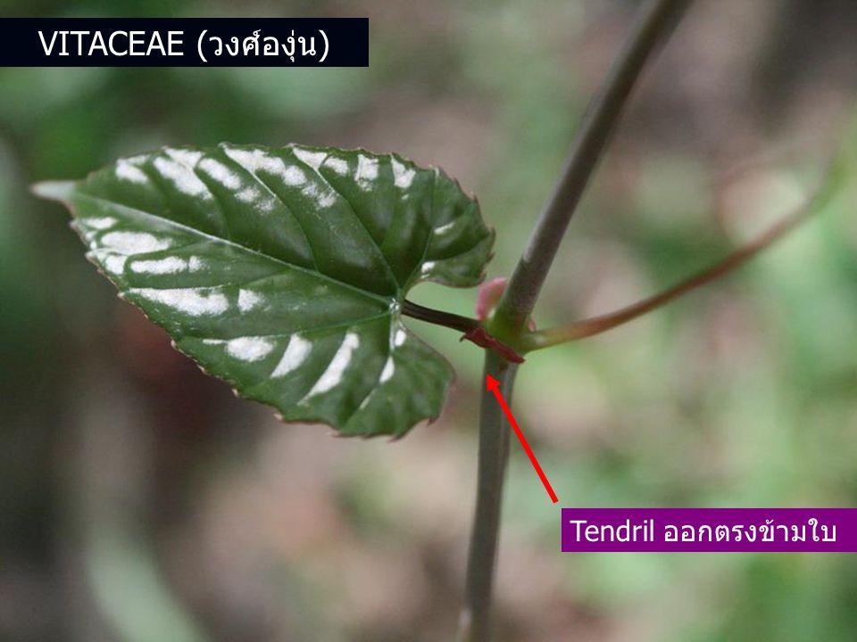 Vitaceae (วงศ์องุ่น) Tendril ออกตรงข้ามใบ