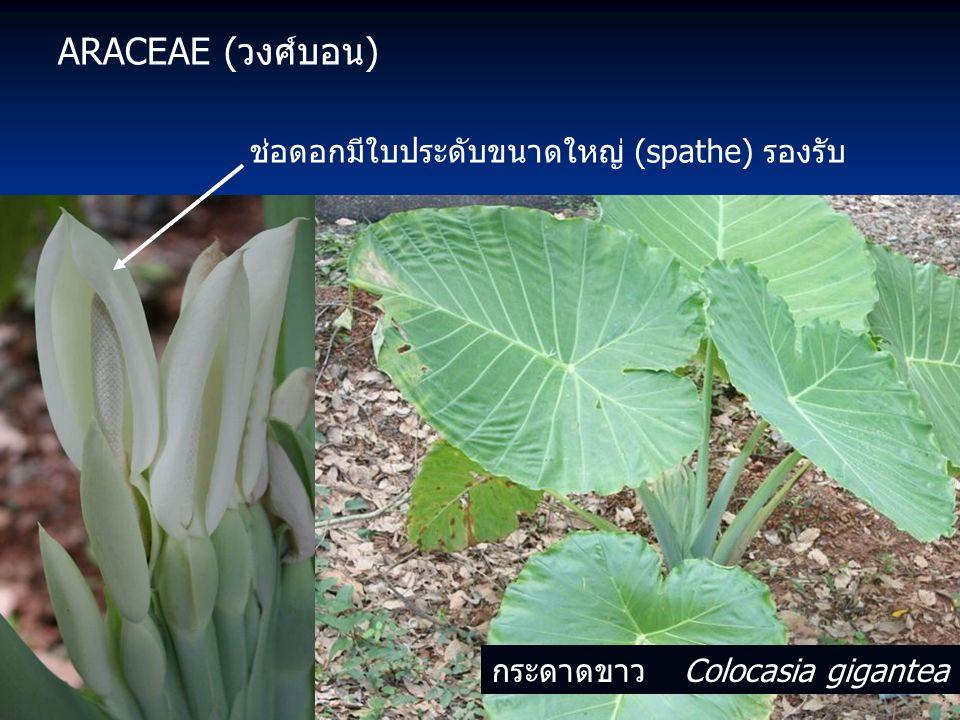 ARACEAE (วงศ์บอน) ช่อดอกมีใบประดับขนาดใหญ่ (spathe) รองรับ