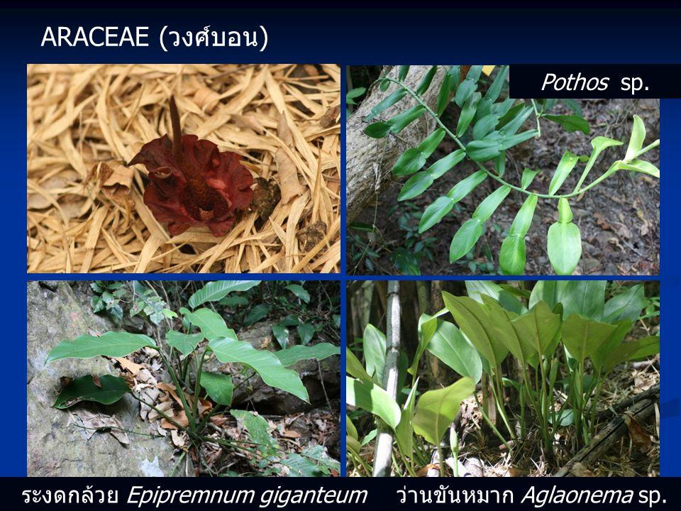 ARACEAE (วงศ์บอน) Pothos sp. ระงดกล้วย Epipremnum giganteum