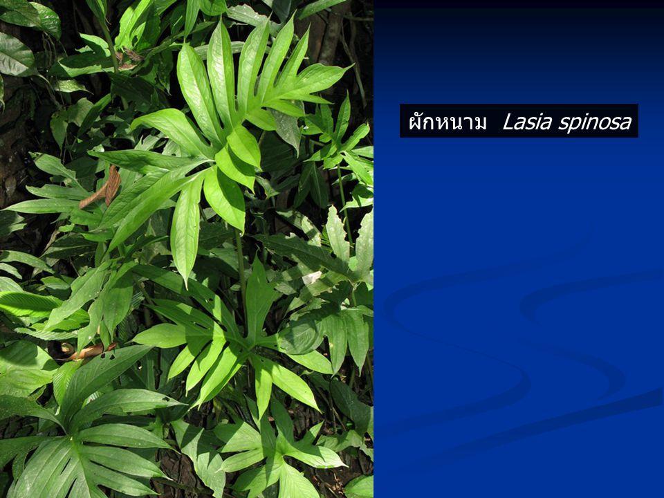 ผักหนาม Lasia spinosa