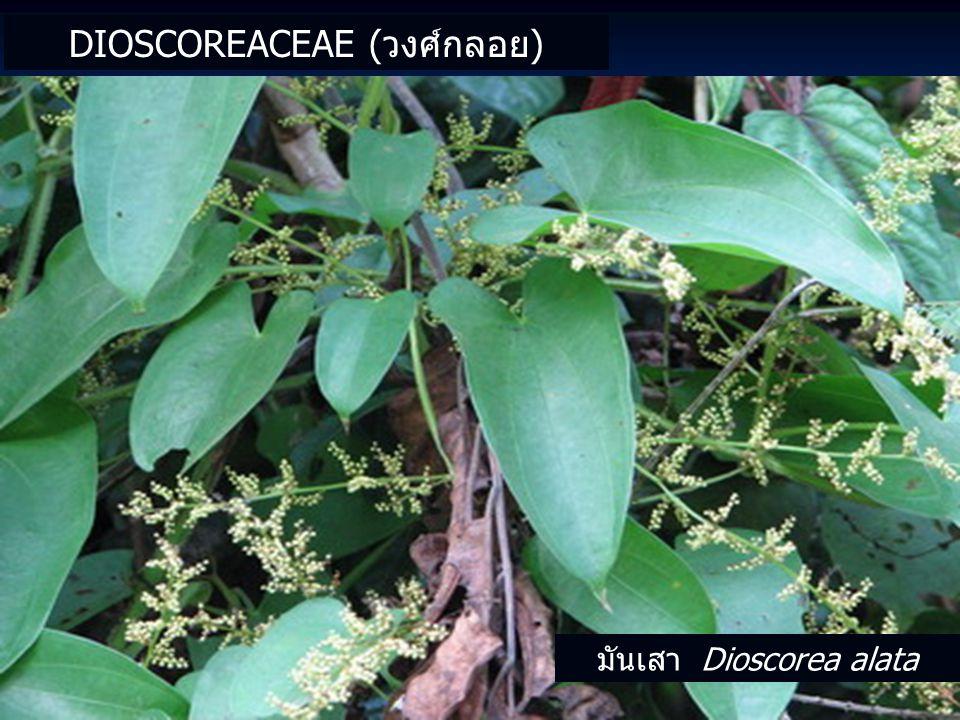 Dioscoreaceae (วงศ์กลอย)