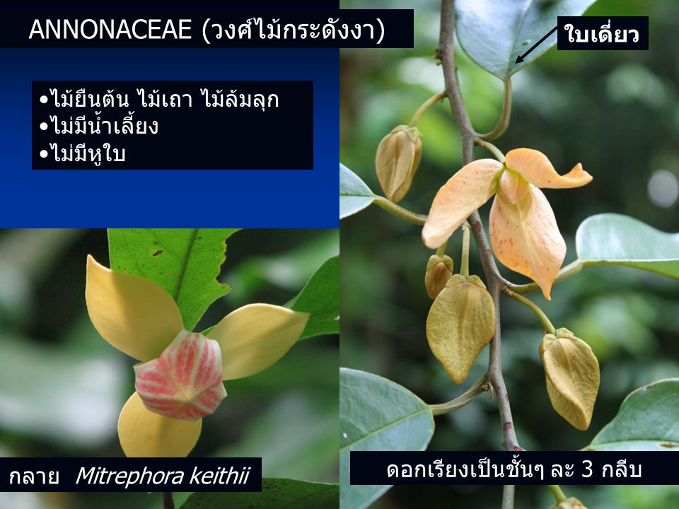 Annonaceae (วงศ์ไม้กระดังงา)