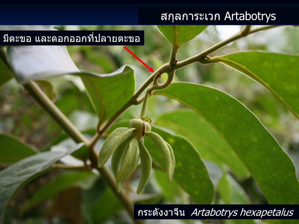สกุลการะเวก Artabotrys