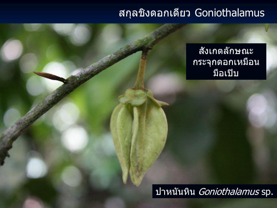 สกุลชิงดอกเดียว Goniothalamus