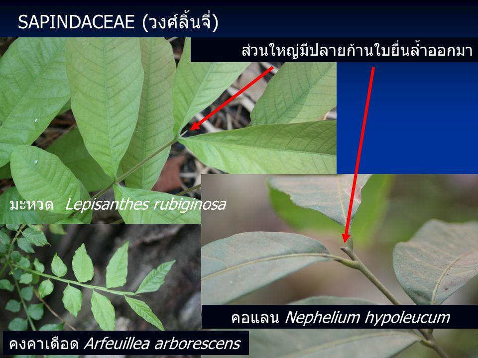 Sapindaceae (วงศ์ลิ้นจี่)