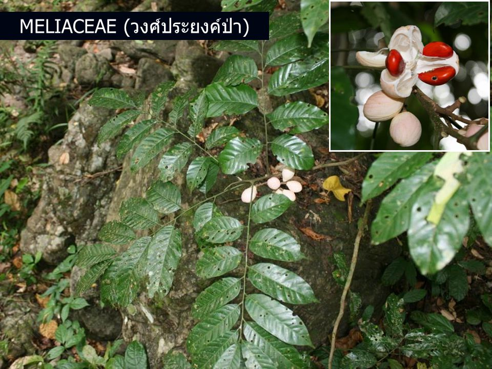 Meliaceae (วงศ์ประยงค์ป่า)