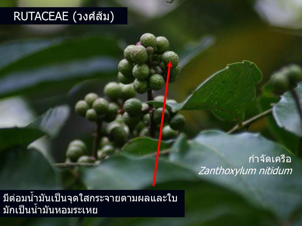 Rutaceae (วงศ์ส้ม) กำจัดเครือ Zanthoxylum nitidum