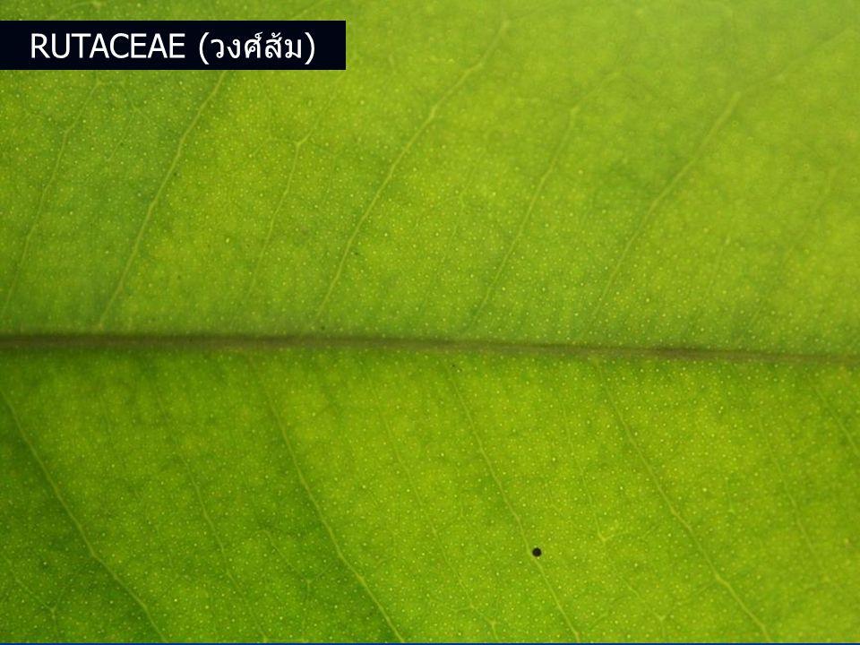 Rutaceae (วงศ์ส้ม)