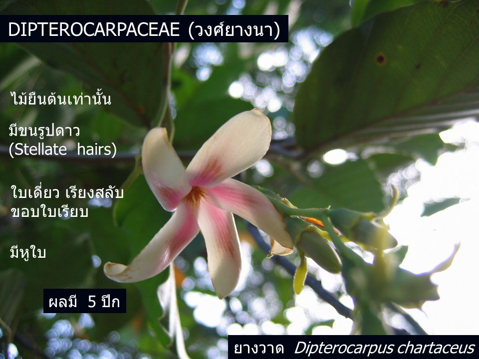 Dipterocarpaceae (วงศ์ยางนา)