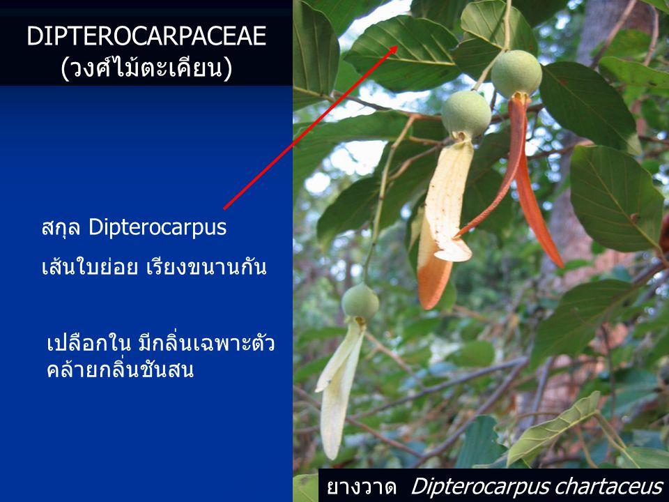 ยางวาด Dipterocarpus chartaceus