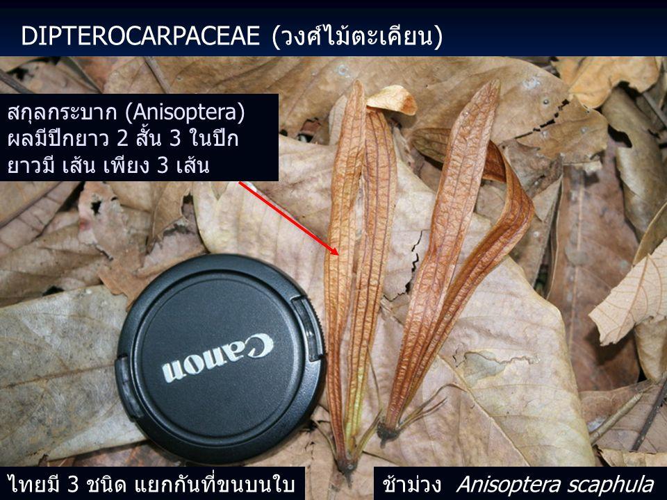 Dipterocarpaceae (วงศ์ไม้ตะเคียน)
