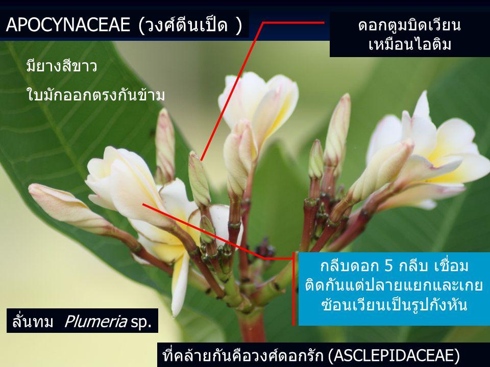 Apocynaceae (วงศ์ตีนเป็ด )