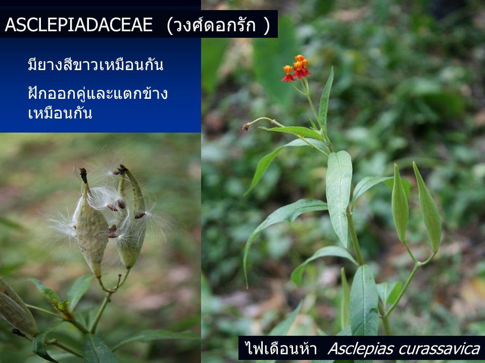 ไฟเดือนห้า Asclepias curassavica