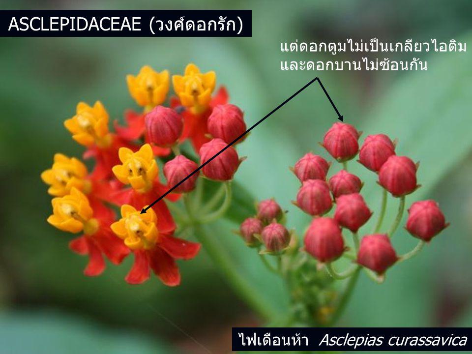 Asclepidaceae (วงศ์ดอกรัก)
