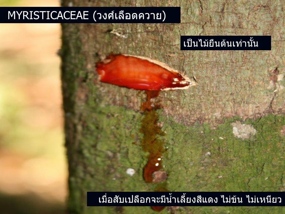 Myristicaceae (วงศ์เลือดควาย)