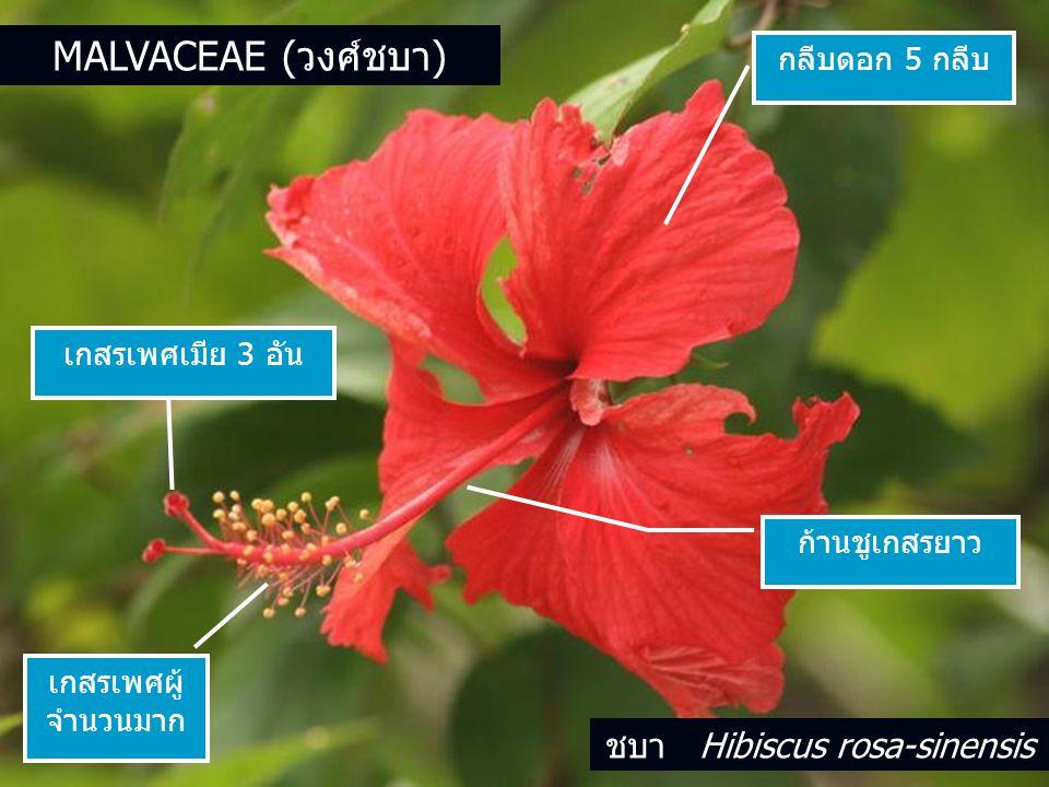 ชบา Hibiscus rosa-sinensis
