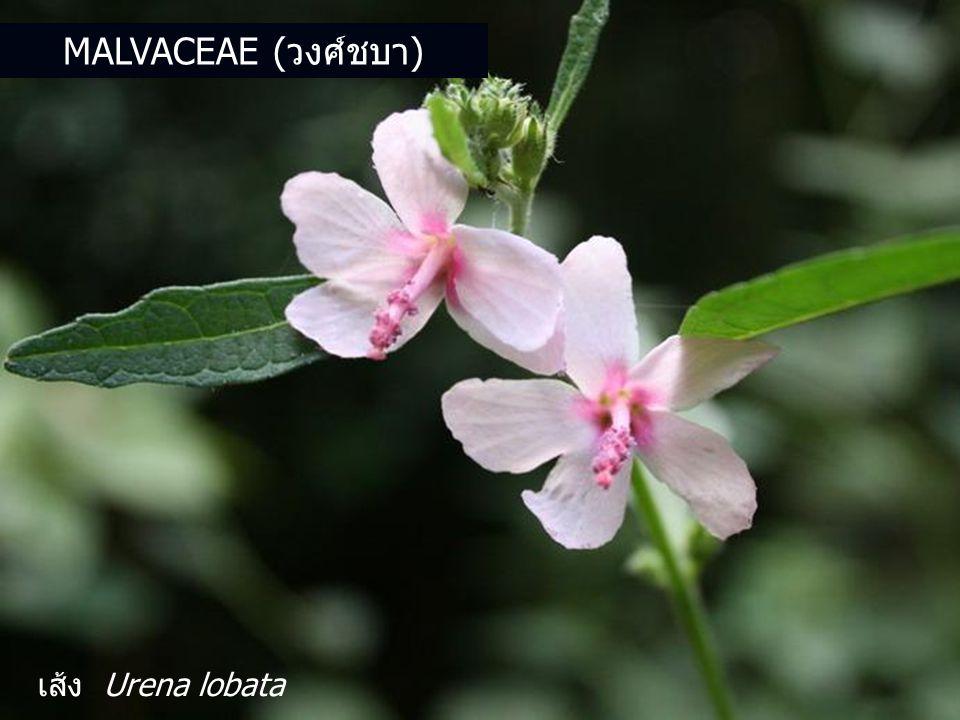 Malvaceae (วงศ์ชบา) เส้ง Urena lobata