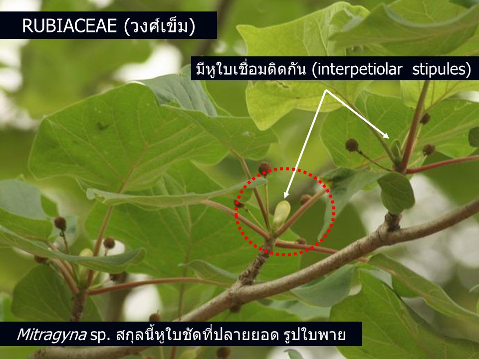 Mitragyna sp. สกุลนี้หูใบชัดที่ปลายยอด รูปใบพาย