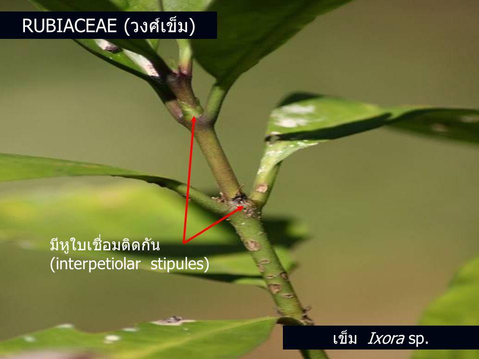 Rubiaceae (วงศ์เข็ม) มีหูใบเชื่อมติดกัน (interpetiolar stipules)