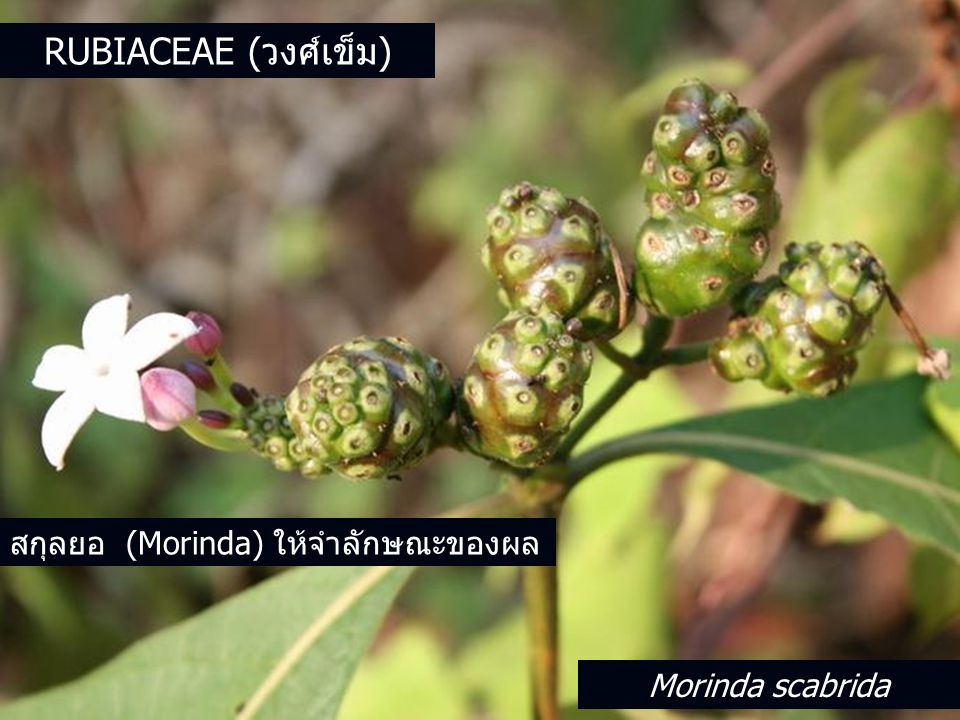 Rubiaceae (วงศ์เข็ม) สกุลยอ (Morinda) ให้จำลักษณะของผล