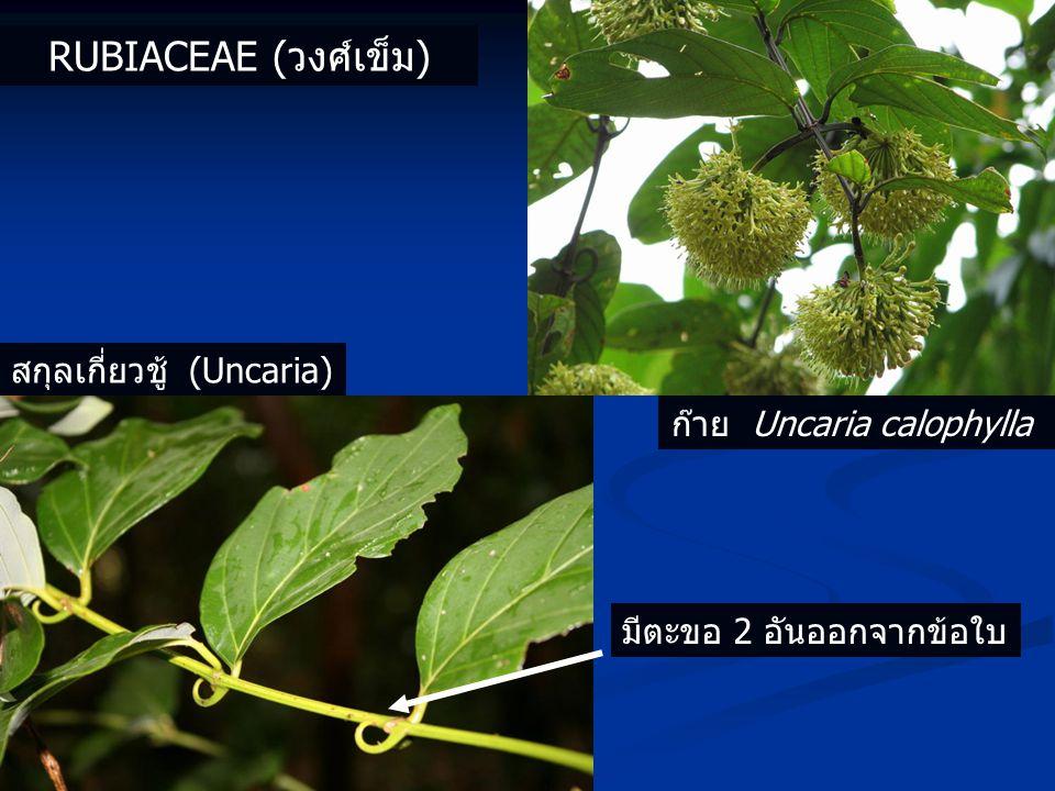 ก๊าย Uncaria calophylla